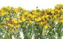 Как сушить зверобой в домашних условиях правильно – инструкция по заготовке лекарственной травы