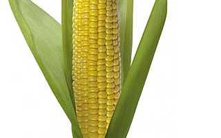Кукуруза – польза и вред для здоровья, противопоказания, химический состав, в каком виде лучше употреблять